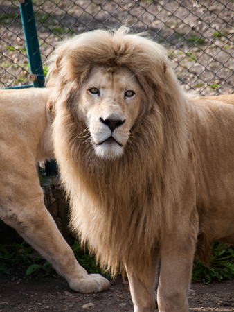 male lion: Adult male lion - lioness behind him Stock Photo