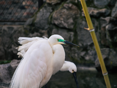 egret: Snowy egret - rocky background Stock Photo