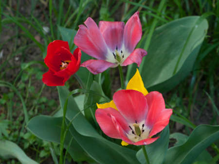 differently: Three differently colored tulip flowers