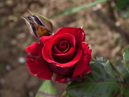 Wild Red rose top view closeup shot