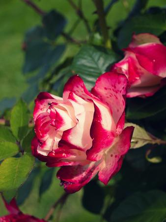 bicolored: Beautiful hybrid bi-colored rose