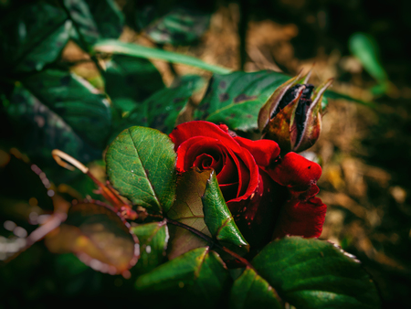 crimson colour: Wild red rose hiding behind green leaves Stock Photo