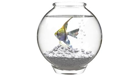 scalare: Angelfish in small fishbowl Stock Photo