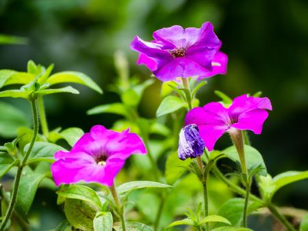 Beautiful petunia flowers in full bloom Stock Photo