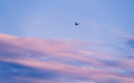 Black wild duck in flight - pink and blue clouds