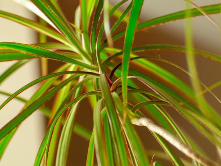 Beautiful green leaves of a dragon tree - Dracena Marginata Stok Fotoğraf