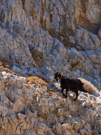 Small black goat climbing the steep rock cliffs