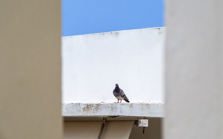 Lone pigeon on a white roof