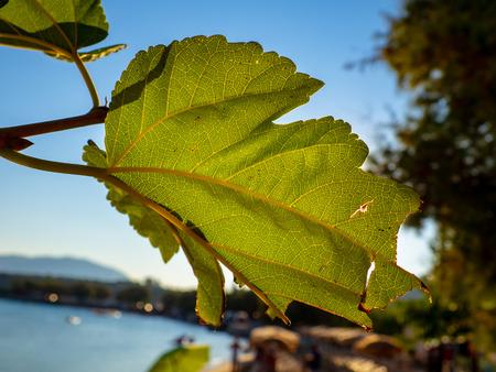 Green fig leaf in the sun