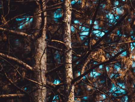 Spruce trees in autumn - evening shot Reklamní fotografie