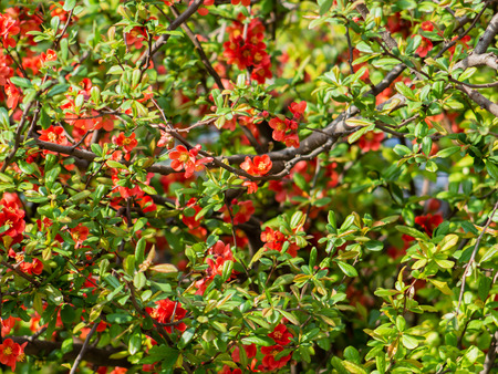 Red Malus tree canopy full of flowers Stock Photo