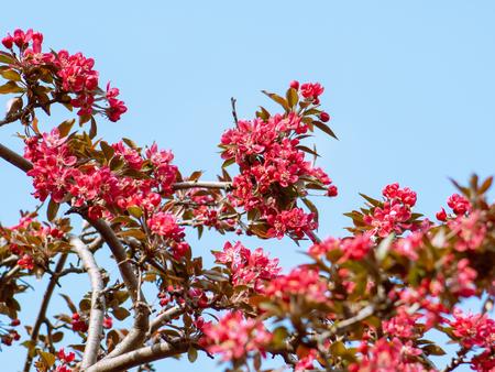 Red Crabapple wonderful flowers in full bloom