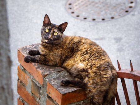 Beautiful cat with tricolor coat lying down on a small brick wall 写真素材 - 130121152
