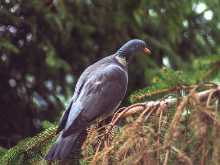 Beautiful wood pigeon standing on a spruce branch