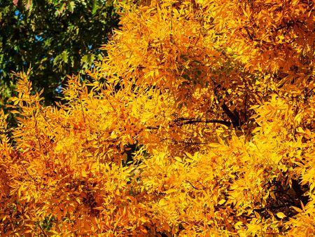 Btight yellow foliage of a tree in autumn Фото со стока