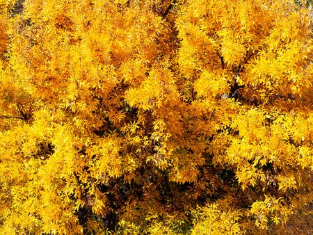 Bright yellow leaves of a tree canopy in autumn Фото со стока