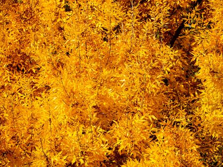 Bright golden yellow foliage in early autumn - beautiful autumn colors