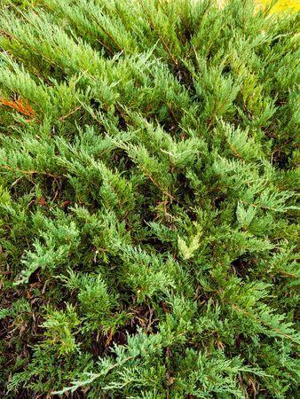 Arborvitae or thuja shrub - spruce evergreen shrub
