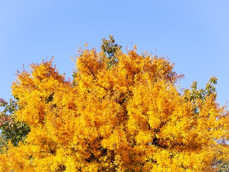 Bright yellow tree canopy in early autumn