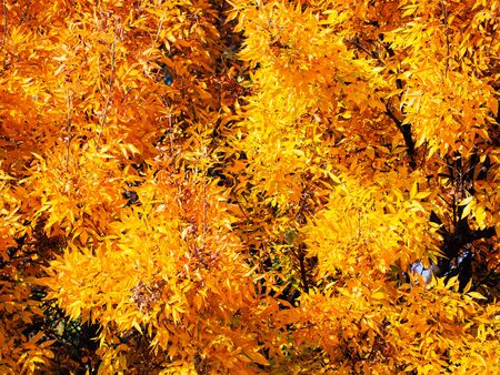 Bright yellow foliage of a japanese maple tree in early autumn