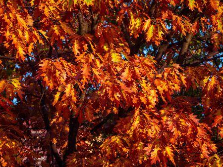 Dark orange leaves of an oak tree in autumn season Фото со стока