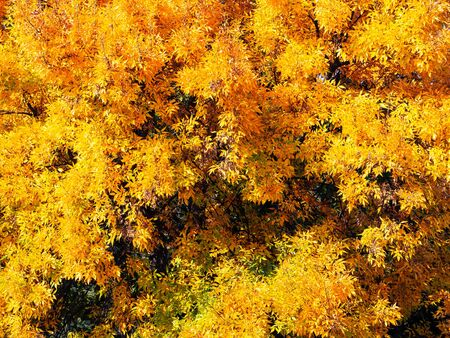 Bright yellow foliage of a tree in early autumn