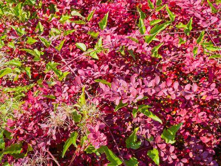 Bright pink and green shrubbery Фото со стока