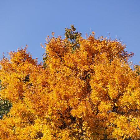 Rich yellow tree canopy in autumn, clear blue sky background Фото со стока