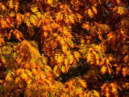 Orange oak leaves in autumn - warm colors of fall Фото со стока