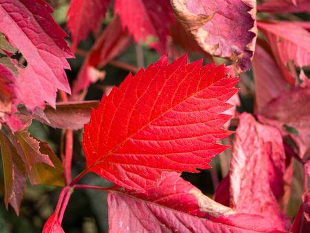 Bright red leaf - autumn colors