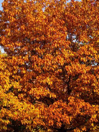 Oak tree - autumn colors - orange leaves