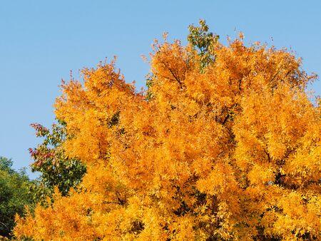 Bright yellow tree - early autumn season