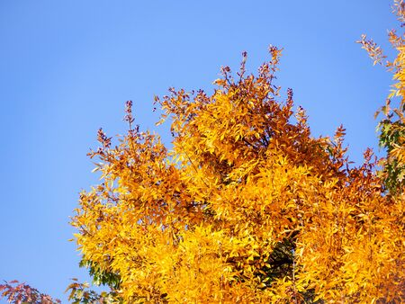 Bright yellow tree canopy in autumn against the clear blue sky