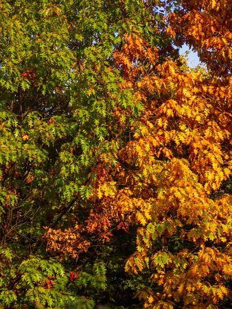 Two oak trees in early autumn - change of seasons