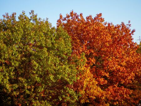 Contrast of color of oak tree leaves in autumn