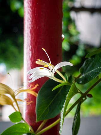 Beautiful white and yellow Japanese honeysuckle flower