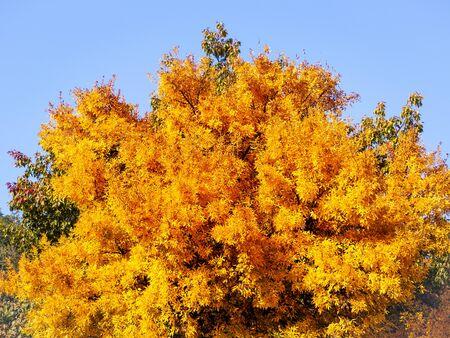 Big yellow tree in early autumn