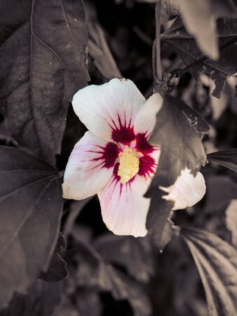 Beautiful Chinese hibiscus flower surrounded ivy leaves