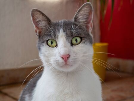 Beautiful white and gray cat with bright green eyes and pink nose