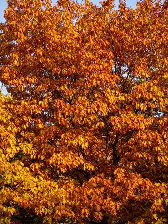 Orange leaves of a oak tree in fall season