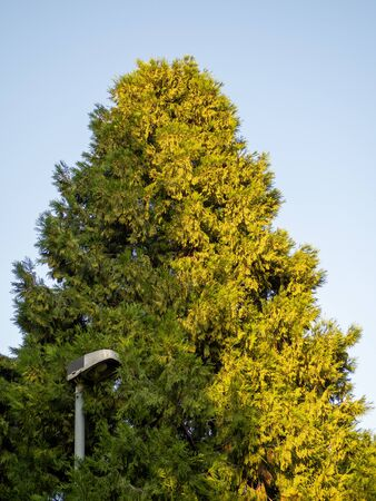 Northern white cedar tree with street light post in its canopy Фото со стока