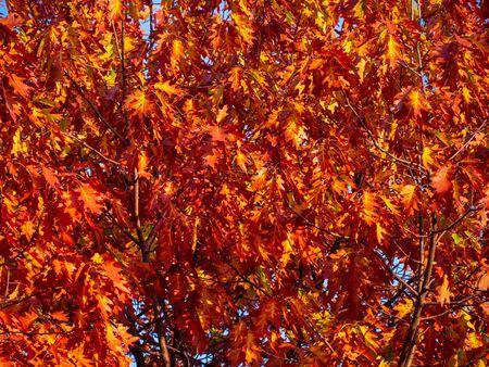 Warm orange color oak leaves in autumn