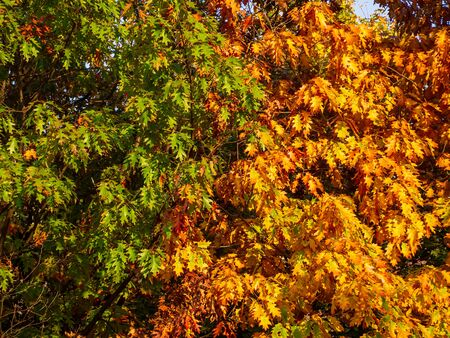 Two oak trees in autumn, one with green and one yellow - orange foliage Фото со стока