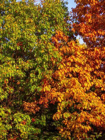 Oak tree foliage in autumn - the contrast of nature Фото со стока