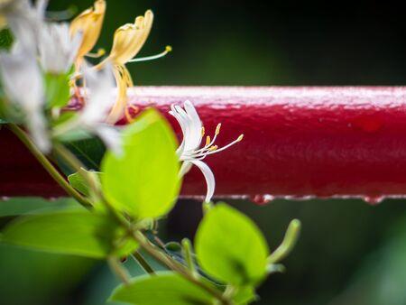 Beautiful white japanese honeysuckle flower