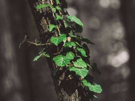 Green ivy growing on a thin tree