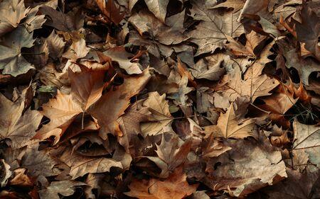 Dried orange maple leaves in late autumn Фото со стока