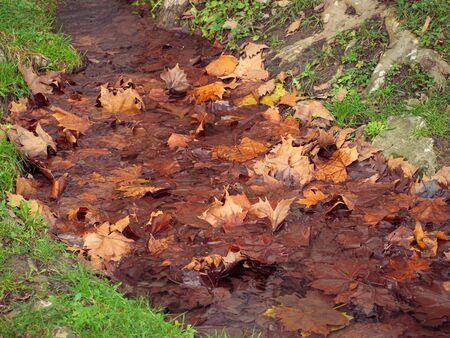 Orange maple leaves in a stream in late autumn