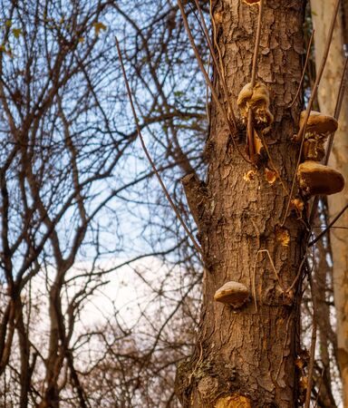 Bracket fungi or polypores growing on a tree trunk - tree in autumn