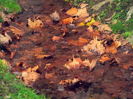 Fallen maple leaves in a stream in late autumn